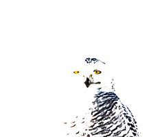 Snowy Owl on White by michelsoucy