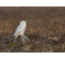 Snowy Owl on a Rock Photographic Print