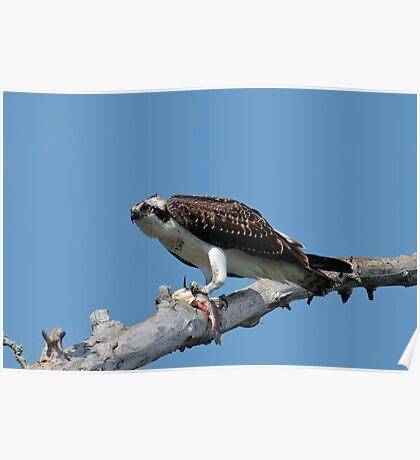Osprey with Bullhead Poster