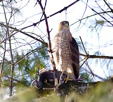 Red Shouldered Hawk with recent prey by michelsoucy