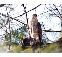 Red Shouldered Hawk with recent prey Photographic Print