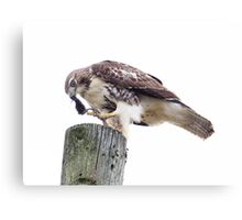 Redtail Hawk finishing a meal Canvas Print