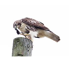 Redtail Hawk finishing a meal Photographic Print