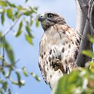 Redtail Hawk in a tree by michelsoucy