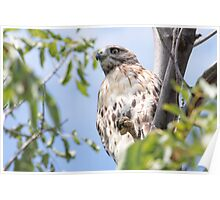 Redtail Hawk in a tree Poster