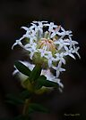 White Banjine (Pimelea ciliata) by Elaine Teague