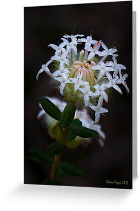 White Banjine (Pimelea ciliata) by Elaine Teague