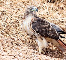 Redtail Hawk on a pile of woodchips by michelsoucy