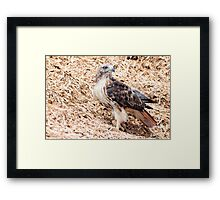 Redtail Hawk on a pile of woodchips Framed Print