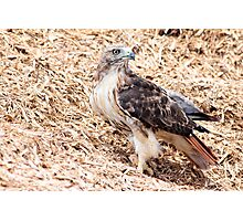 Redtail Hawk on a pile of woodchips Photographic Print