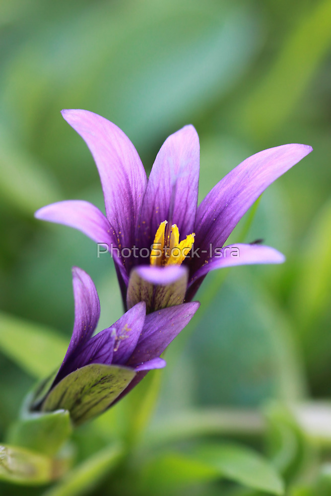 Phoenician Romulea Close up by PhotoStock-Isra