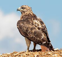 Redtail Hawk atop a woodchip pile by michelsoucy