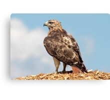 Redtail Hawk atop a woodchip pile Canvas Print
