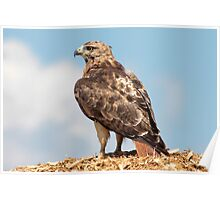 Redtail Hawk atop a woodchip pile Poster