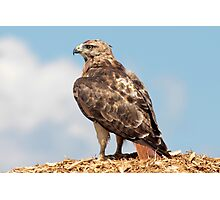 Redtail Hawk atop a woodchip pile Photographic Print