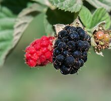 Ripe and unripe wild  Blackberries  by PhotoStock-Isra