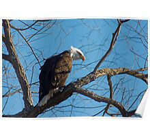 Bald Eagle with blue sky Poster