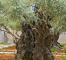 Jerusalem, Old Olive trees in the garden of Gethsemane by PhotoStock-Isra