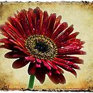 Baberton Daisy by RonelBroderick