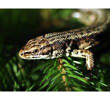 Common Lizard Photographic Print