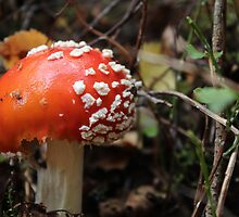 Fly Agaric by karina5
