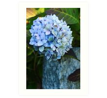 Blue Hortensia Art Print