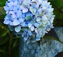 Blue Hortensia by karina5