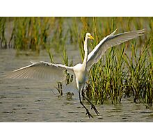 Great White Egret Comes for A Landing at Sunset Photographic Print