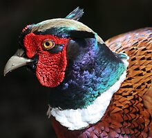 Male pheasant in all it's glory by Jackvol