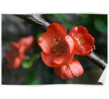 Quince Flower Close Up Poster