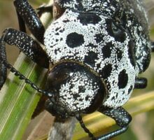 Black and White Capnodis Cariosa Beetle  Sticker