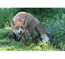 Hungry fox Photographic Print