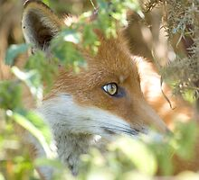 Hidden fox by Anthony Brewer