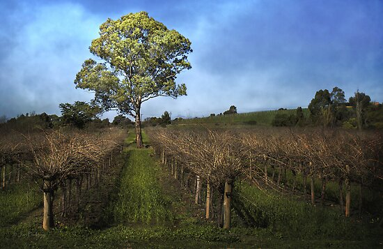 Vineyard by Jan Pudney