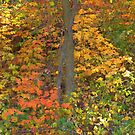 Autumn Leaf Colors by lorilee