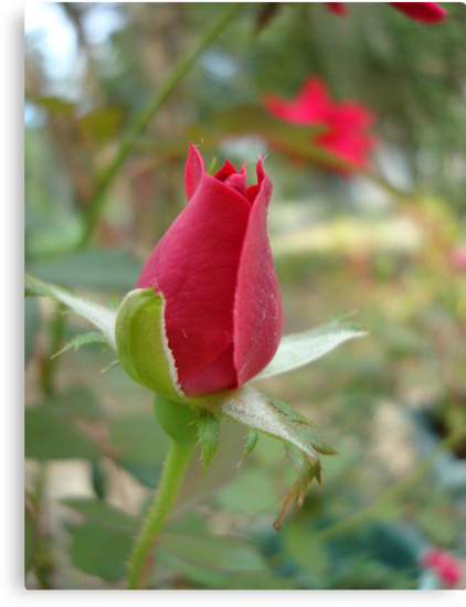 LITTLE RED ROSEBUD by May Lattanzio