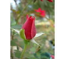 LITTLE RED ROSEBUD Photographic Print