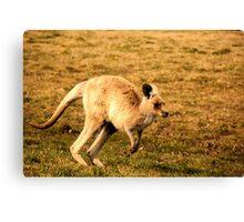 Blonde kangaroo Canvas Print