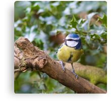 Blue Tit (Cyanistes Caeruleus) Perched in a Tree Canvas Print