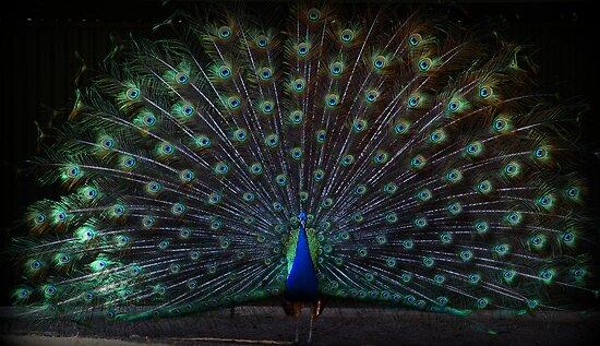 Peacock by Evita