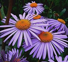 Birth Month Flower - September - Aster by sitnica