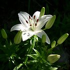 Oriental Lily - First Bloom by mussermd