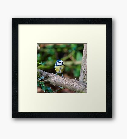 A Blue Tit (Cyanistes Caeruleus) Perched on a Branch Framed Print