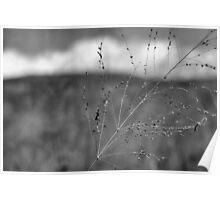 Grass stalk (black and white) Poster