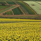 Daffodil cultivation by Snowyturner
