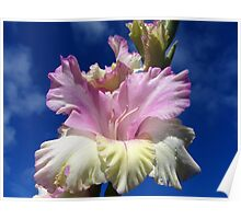 Pink and yellow gladiolus Poster