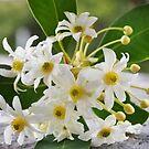 Flor del Canelo.... by cieloverde