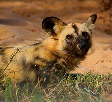 Wild Dog Wakes by PBreedveld