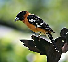 Grosbeak by AngieBanta