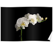 Orchid on Black Poster
